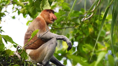 Proboscis Monkey (Nasalis larvatus) Sitting, Foraging, Eating, and Climbing in Jungle Rainforest Tree. Walking on High Branches in Canopy.