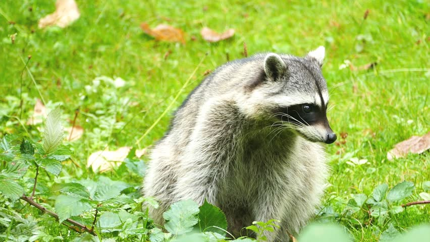 A Cautious Racoon Carefully Plots Stock Footage Video (100% Royalty-free)  1017220660   Shutterstock