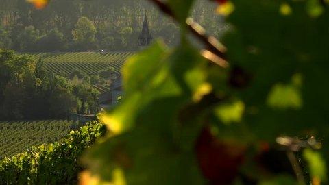Vineyard landscape, Vineyard south west of France, Sauternes, Loupiac, sunrise, Europe