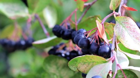 ripe fresh berries of chokeberry on the branches of Aronia shrub