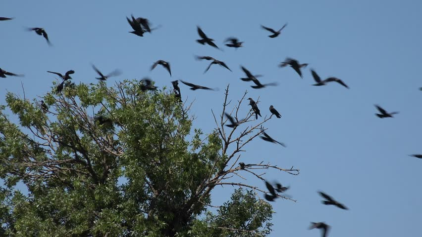Flock of Crows Flying on Cloudy Sky, Ravens in Flight, Birds in Air, Summer | Shutterstock HD Video #1017351220