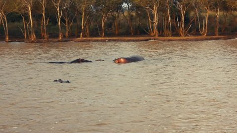 Some Hippopotamus found in South africa in June 2018 in the river of Santa Lucia