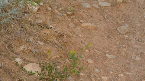 Great basin gopher snake laying still on the ground waiting for its next prey