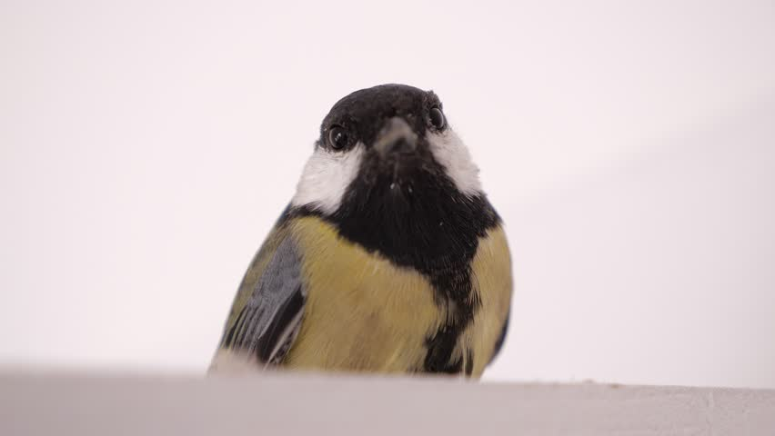 Closeup titmouse sitting at white background and looks at camera.