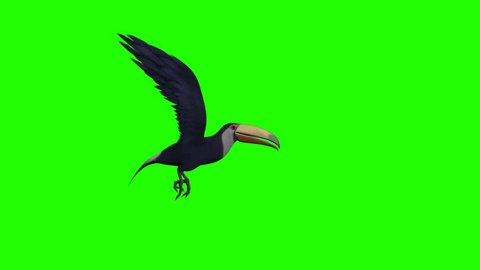 Animated Toucan flying on a green screen.