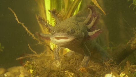 Axolotl. Mexican walking fish. Ambystoma mexicanum.