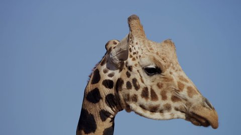 An African giraffe in the wild. Close up and pan the camera up