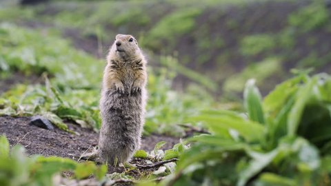 Funny fluffy gopher stands on his hind legs and looks into the camera