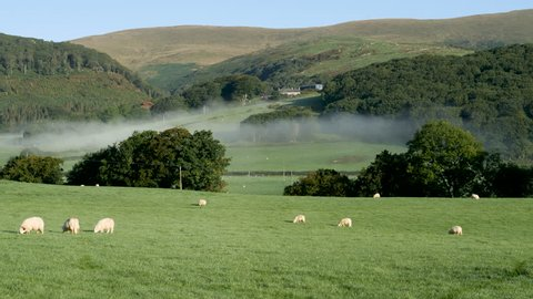 Pan-Sheep grazing in the early morning light with a valley mist laying low to the green rolling hills in the south end of the Snowdonia National Park near the village of Pennal, Wales