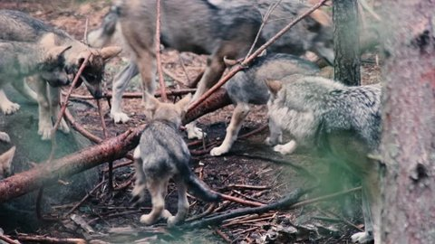 Wolves playing, fighting, eating. Both adult wolves and wolf cubs / wolf pups, or puppies.