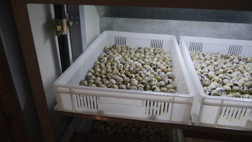 Quail eggs in the incubator. Hatching new quail. Many quail eggs are in plastic boxes in the incubator