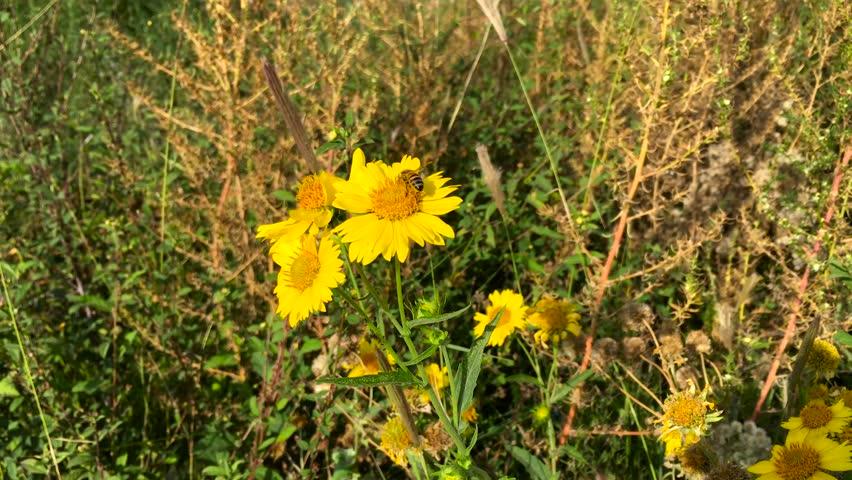 Fabelhaft Bee On a Chrysanthemum Indicum Stock Footage Video (100 #CA_97