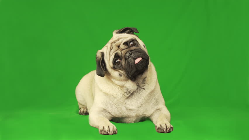 Cute pug dog. Green screen. Portrait. Lying. Tilting head | Shutterstock HD Video #1018030420