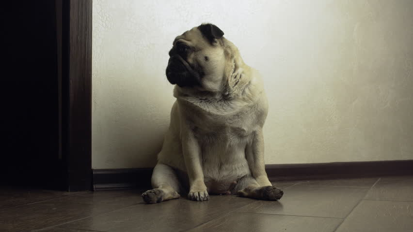 Compassionate, pitiful, compassive, lonly, sad, cute pug dog in the funny sitting pose. Home alone. Experiencing loneliness in empty dark room. Waiting owners after work #1018034740