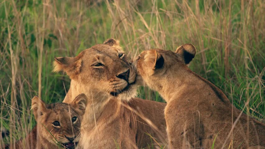 Medium and wide-angle shot of lioness and cubs in Uganda, Africa | Shutterstock HD Video #1018164490
