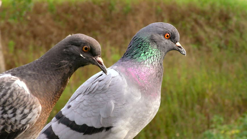 The grey pigeons are very close. Moment of life of wild birds dove living next to people. | Shutterstock HD Video #1018173280