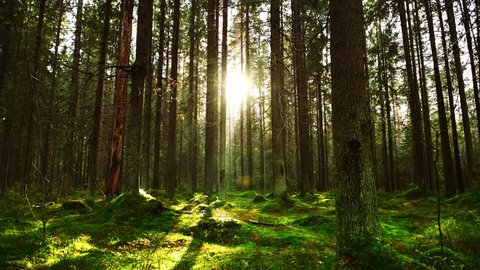 Sun rays make their way through the thick Pine Forest on a warm autumn day