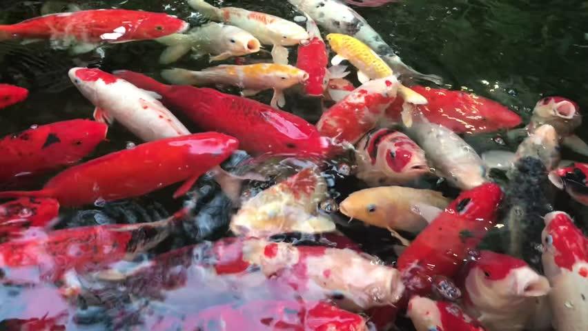 Colorful fish carp (Cyprinus carpio) or Koi fancy carp swimming in the fresh water, pond background. | Shutterstock HD Video #1018207210