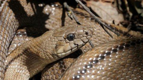 Ladder snake (Rhinechis scalaris) , Spain