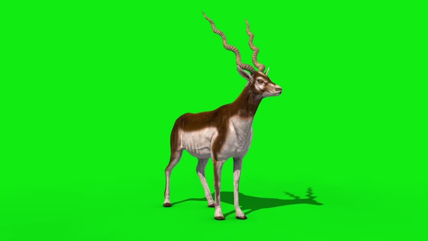 Indian Antelope Attack Front Loop Green Screen 3D Rendering Animation #1018238320