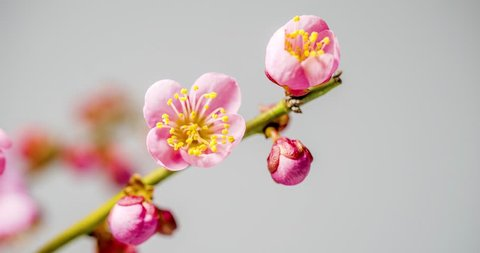 Ume is Japanese plum. Time lapse