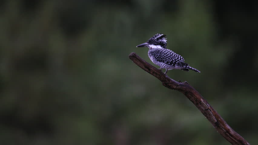 Adult male Crested kingfisher (Megaceryle lugubris), uprisen angle view, in falling rain flying and resting on the branch in Mueang Klong, Chiang Dao Wildlife Sanctuary, Chiang Mai, north of Thailand. #1018514710