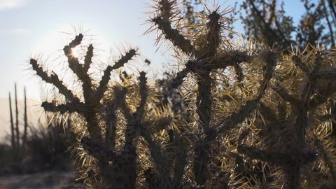 Sonora Desert spiny jumping cholla cactus portrait