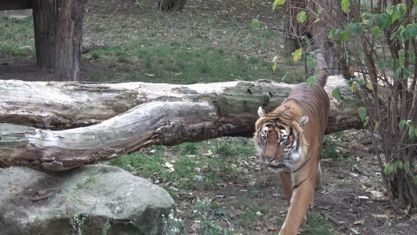 The Malayan Tiger (panthera Tigris Stock Footage Video (100% Royalty-free) on amur tiger map, sumatran tiger map, dhole map, african tiger map, indochinese tiger map, chinese tiger map, caspian tiger map, tiger habitat map, golden tiger map, south china tiger map, malayn tiger map, asiatic cheetah map,
