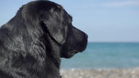 dog lifeguard controls the situation on the beach. safety at rest and rescue drowning. Head of a black dog Labrador Retriever watching the sea. wet dog hair on the beach. dog philosophically looking
