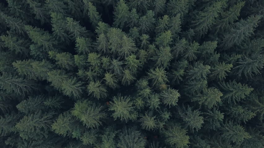 4K, Aerial view. Flying over a vast lush green pines and spruce trees tops in the forest. | Shutterstock HD Video #1019098540