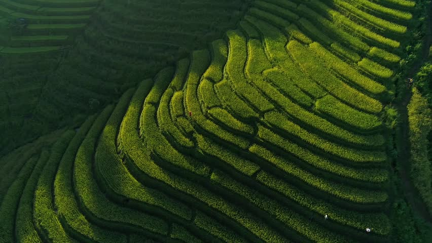 Aerial video, Beautiful rice farm in Countryside.