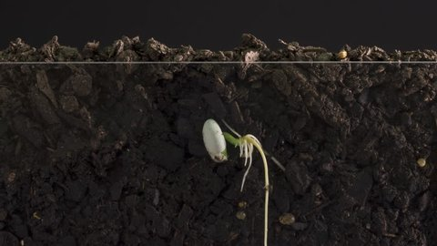 Time lapse of a seed germination and growing with roots from underground view.