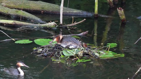 great crested grebe leaving the nest