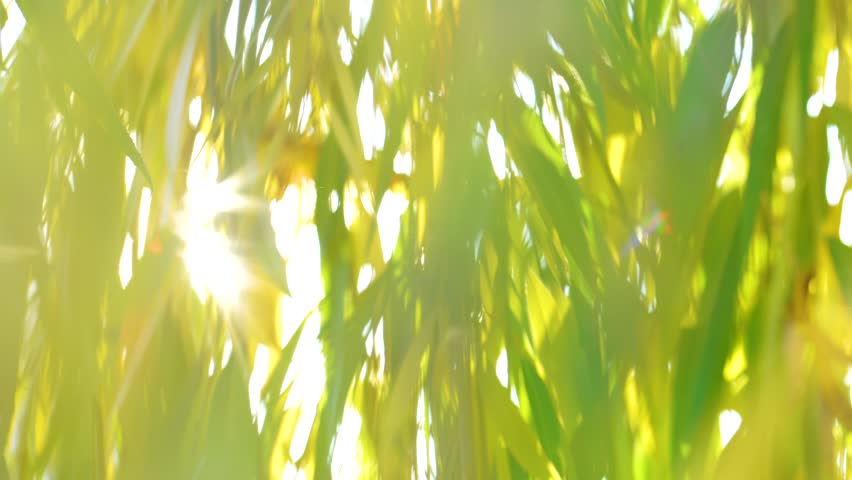 Natural bokeh of green and yellow leaves growing outdoors with sun rays, sunshine and sun flares through foliage. Real time 4k video footage. | Shutterstock HD Video #1019384050