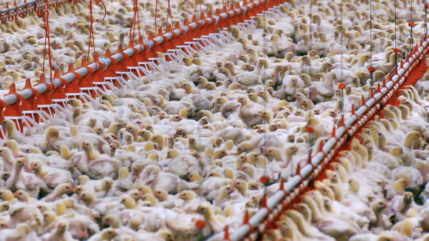 Chickens on a Modern Farm / Chickens for fattening on a modern poultry farm