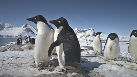 Penguins Love. Family Build Nest for Children. Couple Flapping Wings in Close-up. Antarctica Polar Winter Landscape. Behavior Of Wild Animals Adelie Penguins In Harsh Environment. Snow Covered
