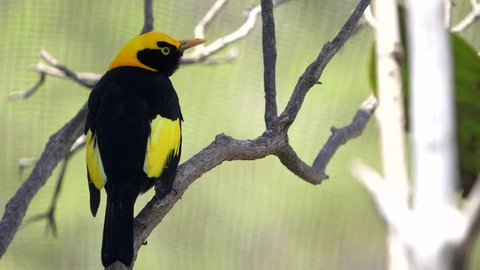 close up of a regent bowerbird in a walk-in avairy on the new south wales, australia