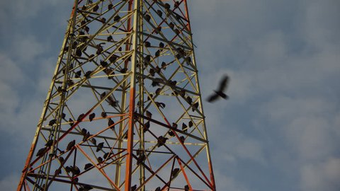 Vulture /  Vultures Bird Committee Roosting on a Communications Tower
