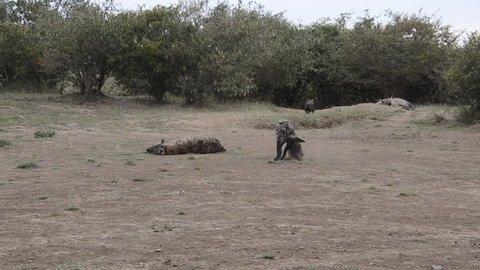 Hyena pups playing near their pride inside masai mara game reserve