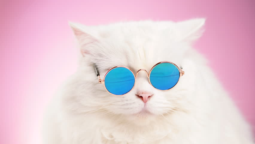 Portrait of highland straight fluffy cat with long hair and round sunglasses. Fashion, style, cool animal concept. Studio footage. White pussycat on pink background. 4k | Shutterstock HD Video #1019868490