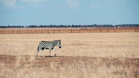 Profile of an adult African zebra seeking food and going along boundless Taurida steppes in Askania-Nova on a sunny day in summer. It looks funny