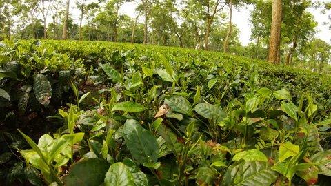 POV moving over tea bushes plantation Assam