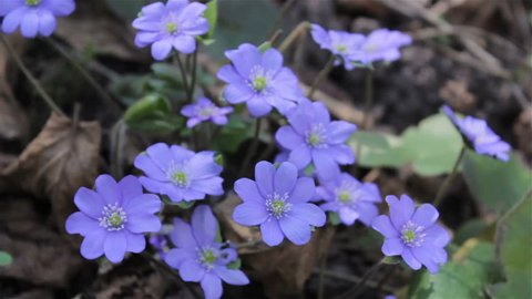 blue spring flowers,the first forest flowers bloom in the spring of Hepatica Nobilis