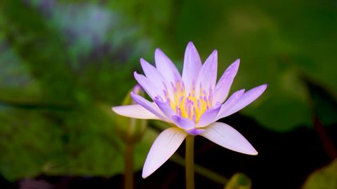 Time lapse.The lotus flower opens at dawn in the morning.