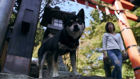Cute shiba inu dog tied with a leash near a gateway in Kyoto, Japan with soft natural ligthing. Medium shot on 4k RED camera.