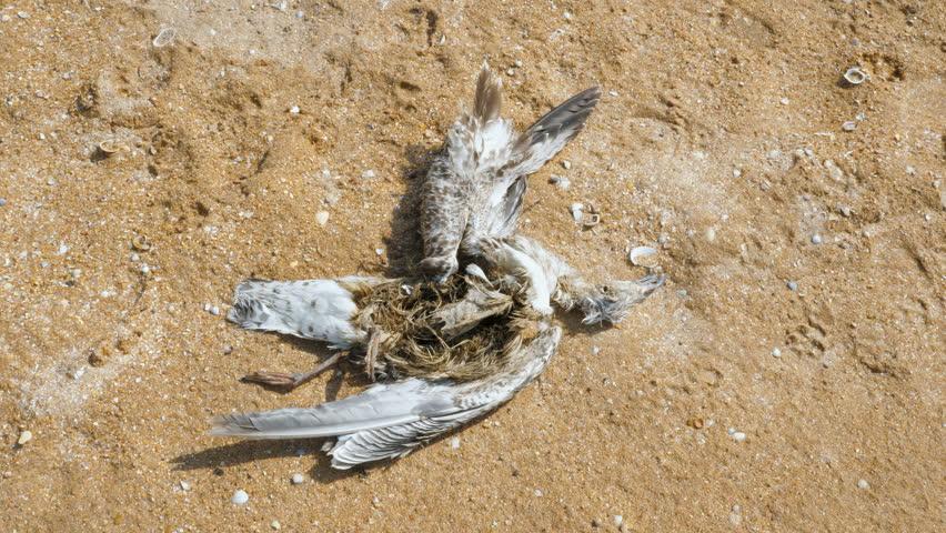Dead gutted seagull on a sandy beach.