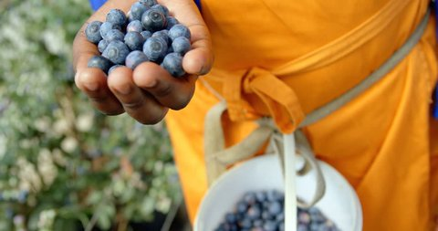 Close-up mid section of ethnic worker wearing bright clothing putting freshly picked blueberries in blue bucket. In slow-motion