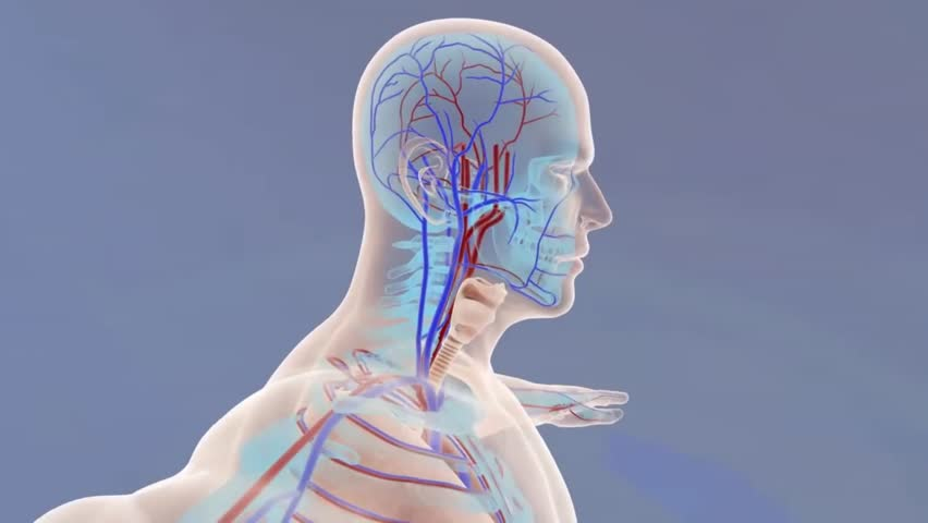 Human body organs and veins | Shutterstock HD Video #1020914530