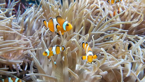 Many Clownfish And Sea Anemone Partnership, Close Up View - 4K Resolution