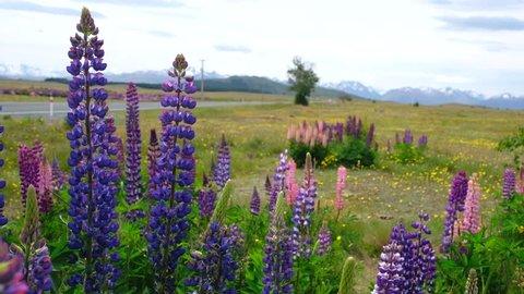 Beautiful view Lupins flower beside the road to Lake Tekapo, New Zealand.